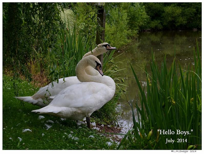 Swan Hello