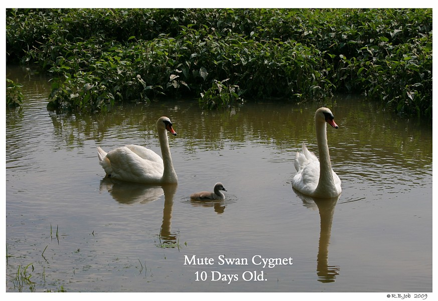 10 Day Old Mute Swan Cygnet Swans DNA-Sex Testing
