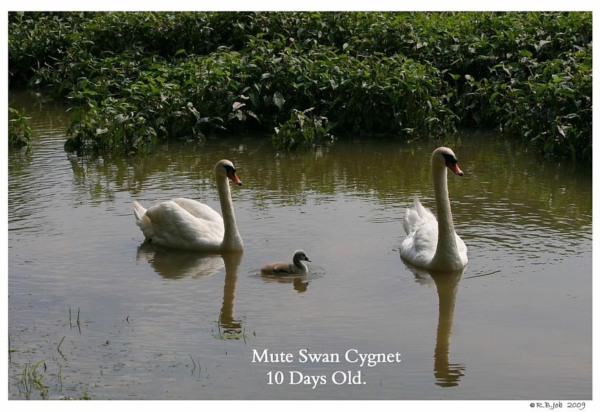 10 Day Old Mute Swan Cygnet