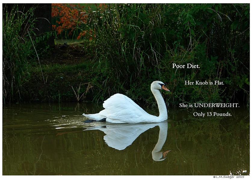 Swan Poor Diet Captive Mute Swans Feeding Swans