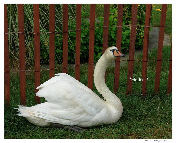 Female Swan Say Hello