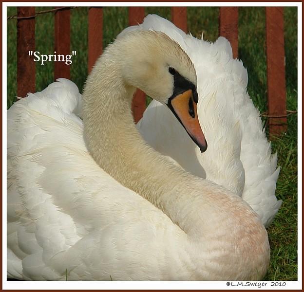 Mute Swan Spring
