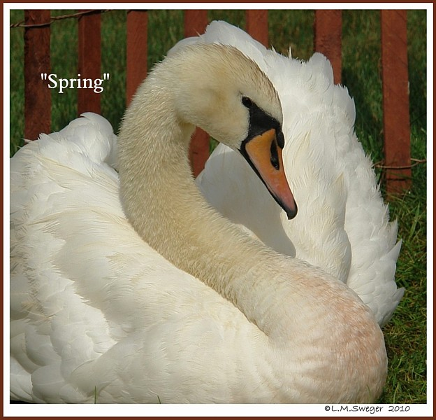 Swan Spring