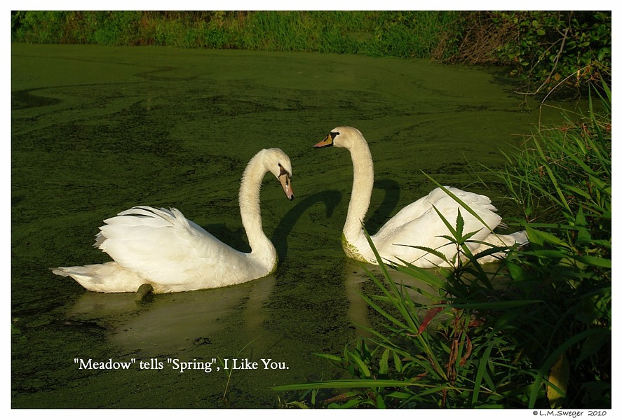 I Like You Swans
