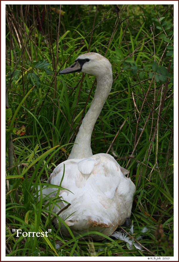 Mute Swan Forrest