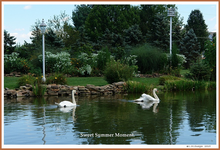 Mute Swans of Summer     Swan Under Tongue Chin Impaction