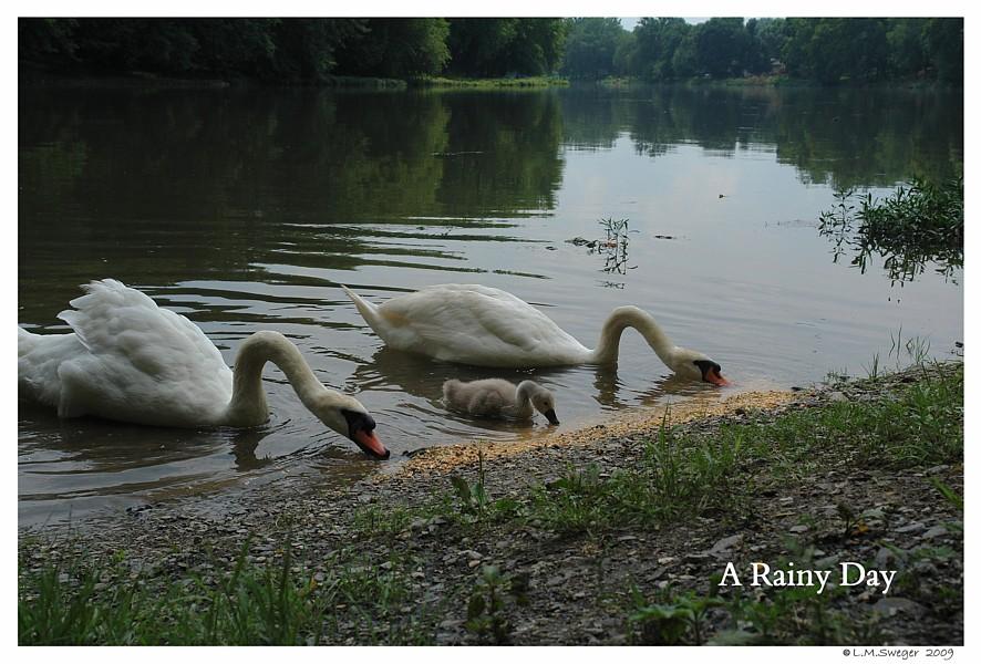 Rainy Day Corn Captive Mute Swans Feeding Swans