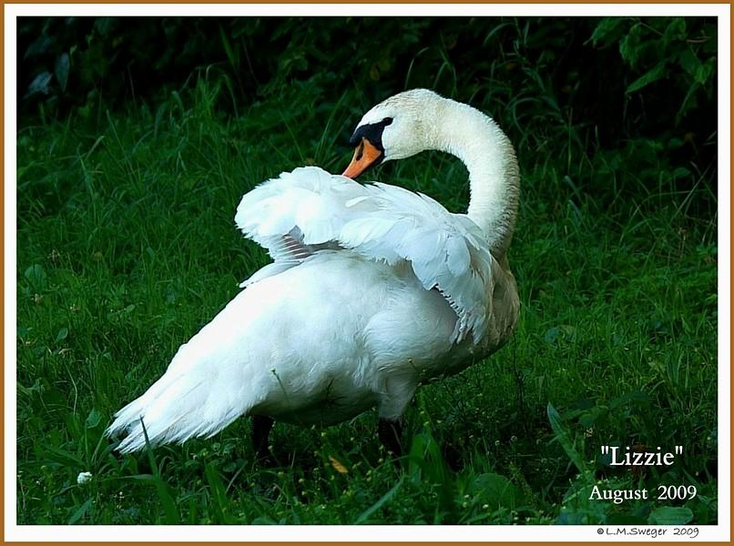Female Mute Swan Lizzie