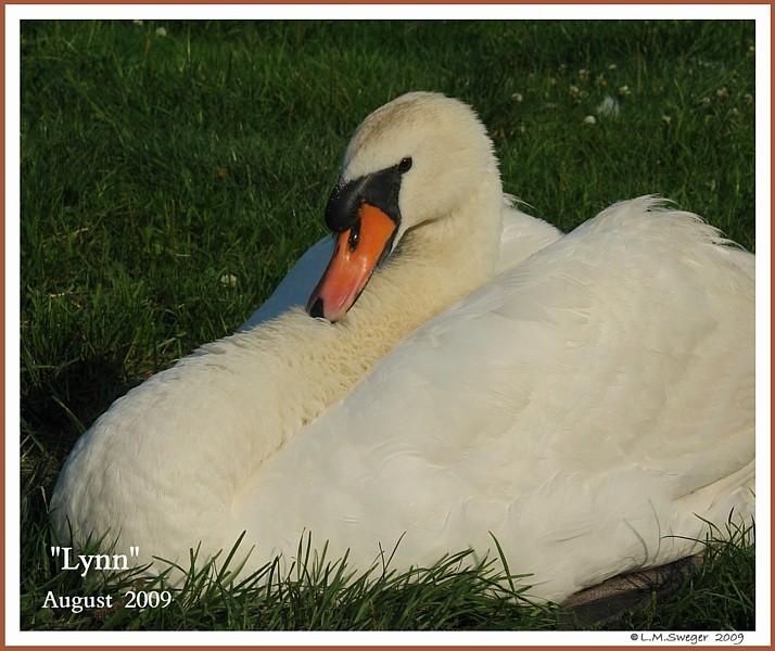 Male Mute Swan Lynn Swann
