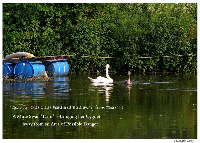 Swan Dam Chasing Wayward Cygnet