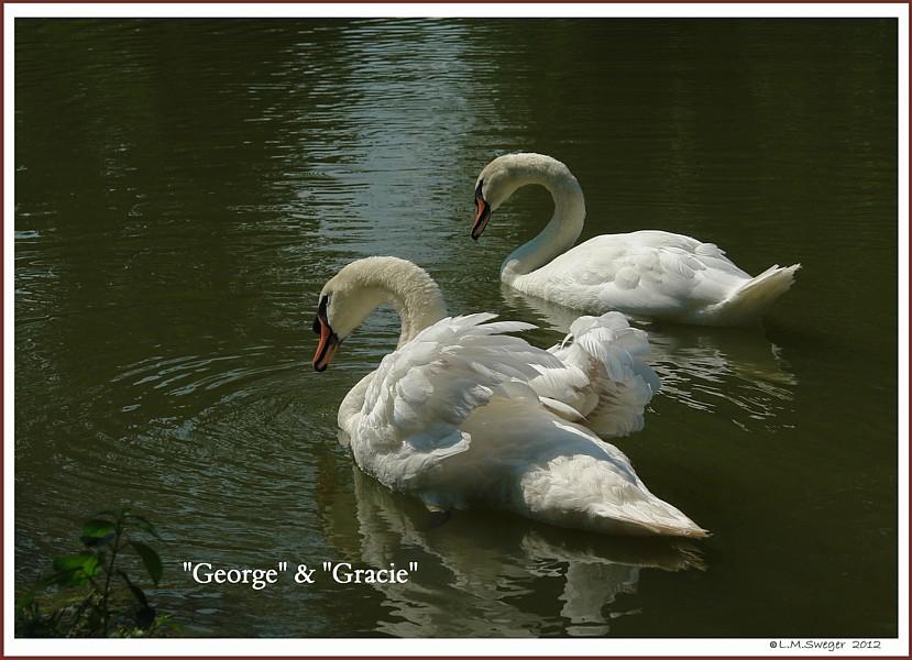 Mute  Swans George Gracie