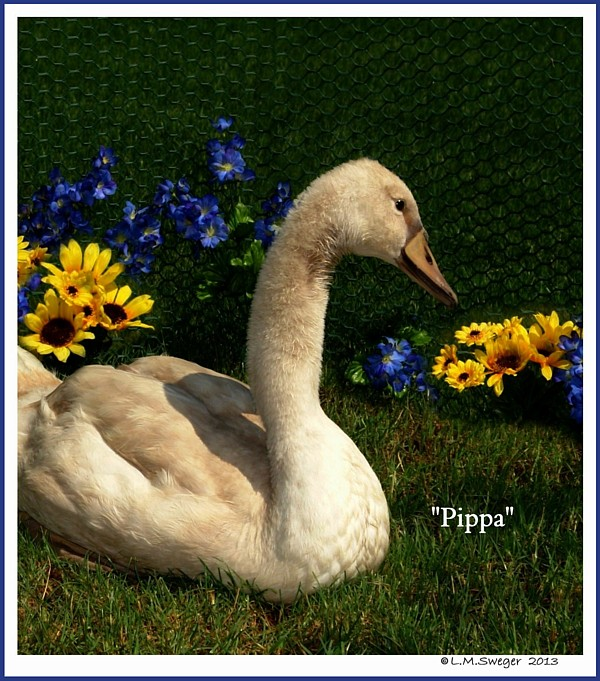 Female Mute Swan Cygnet Pippa