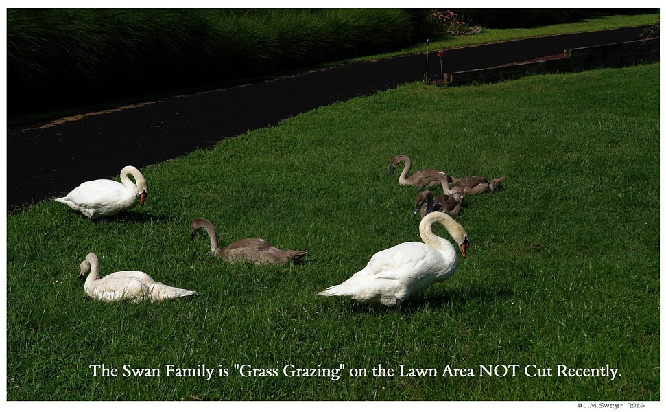 Feed Swans