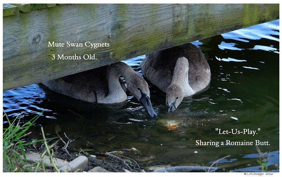 Swan Cygnets Lett-Us-Play