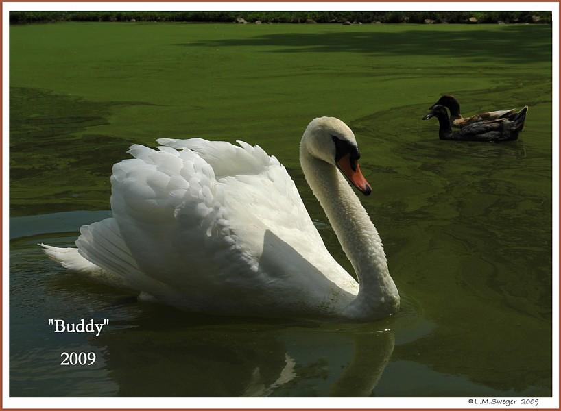Mute Swan Buddy