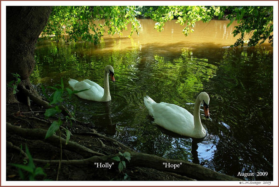 Feral Female Mute Swans  Hope  Holly