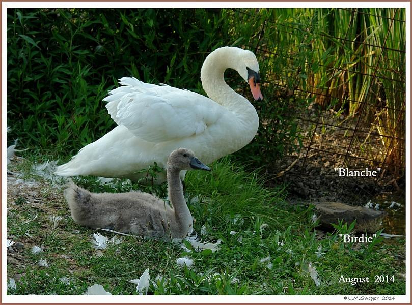 Mute Swan Dam & Cygnet   Blanche  Birdie