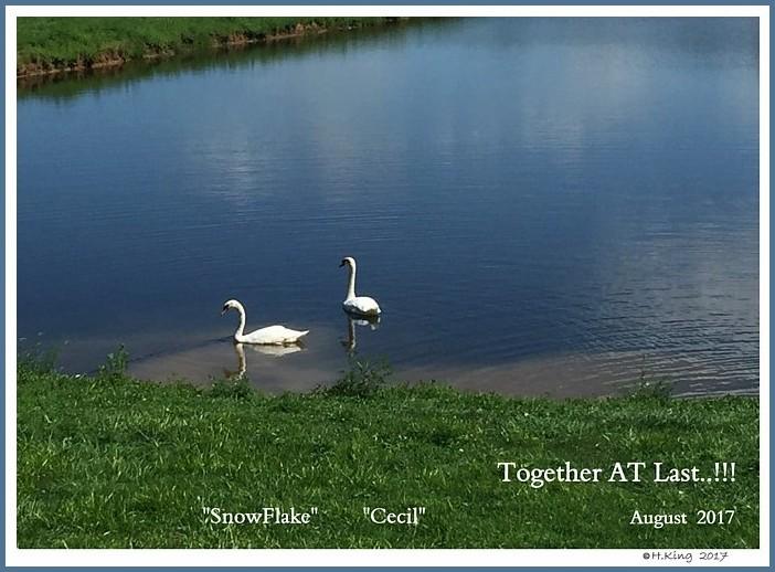 Mute Swan Pair  Snowflake  Cecil