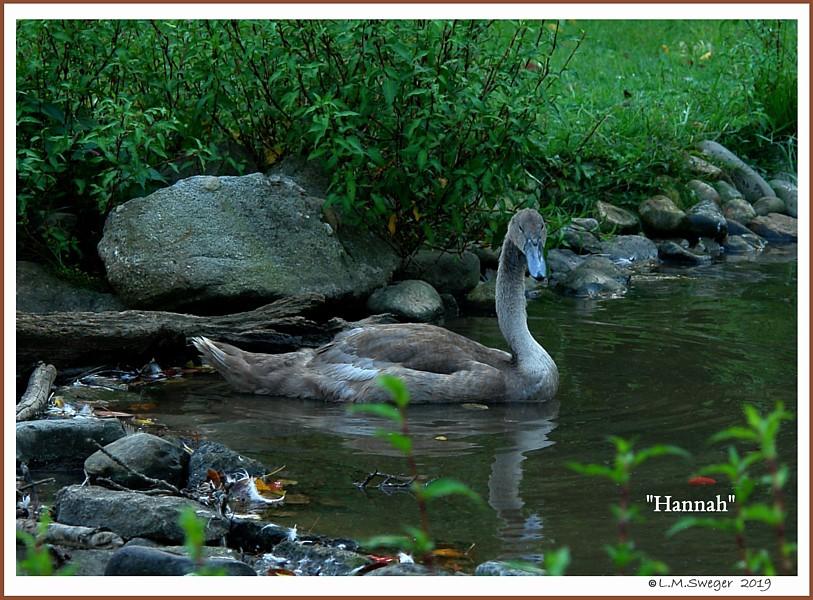 Mute Swan Cygnet Hannah