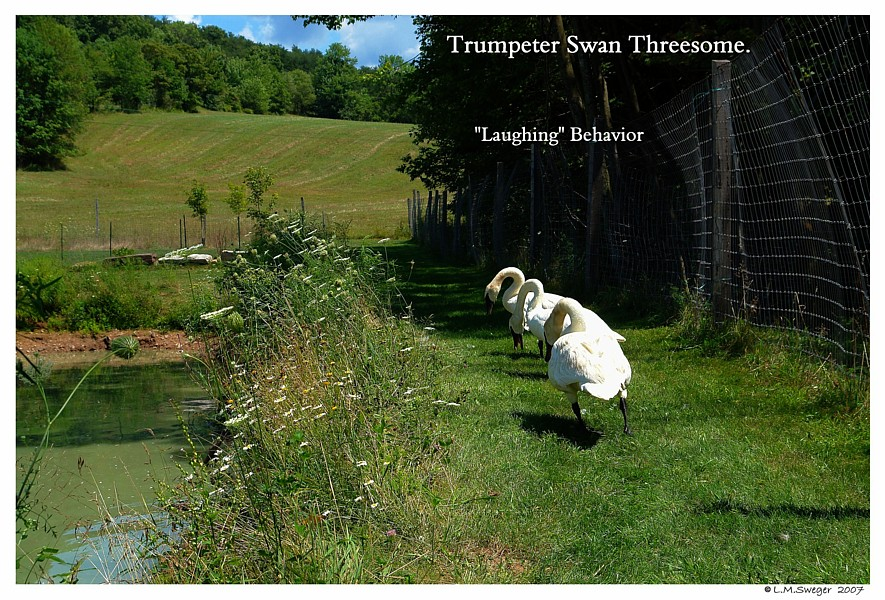 Trumpeter Swans Laughing