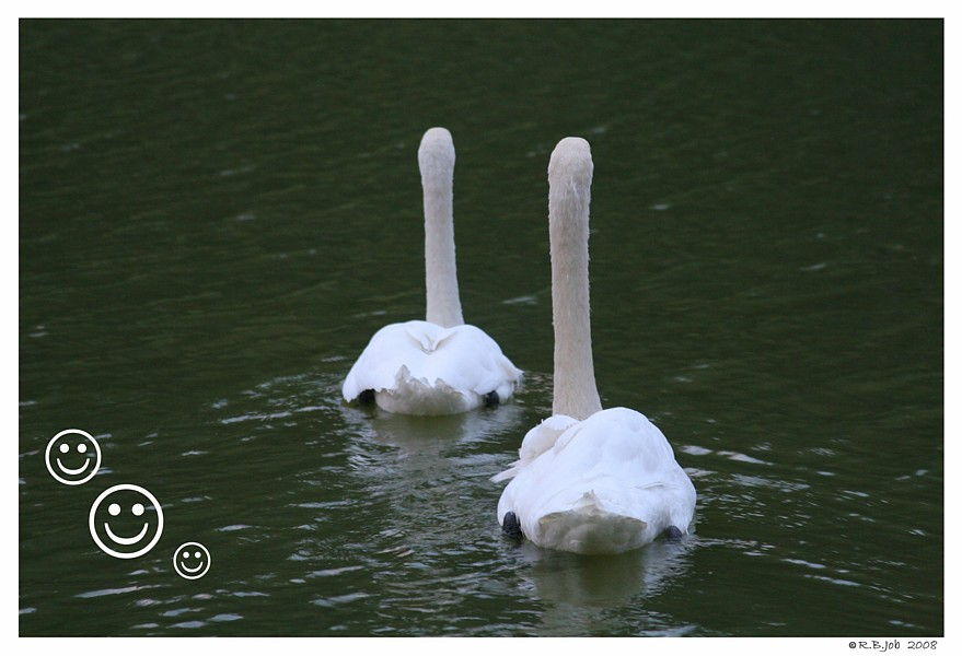 Swans Make me Smile