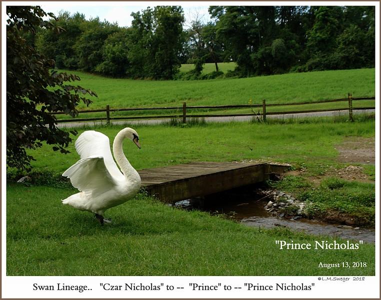 Male Mute Swan Prince Nicholas