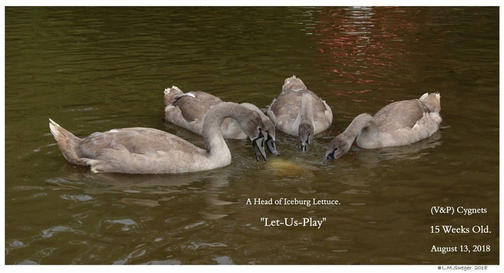 Swan Cygnets Lett-Us-Play