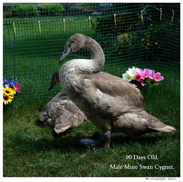Swan Cygnet 90 Days Old Swans DNA-Sex Testing