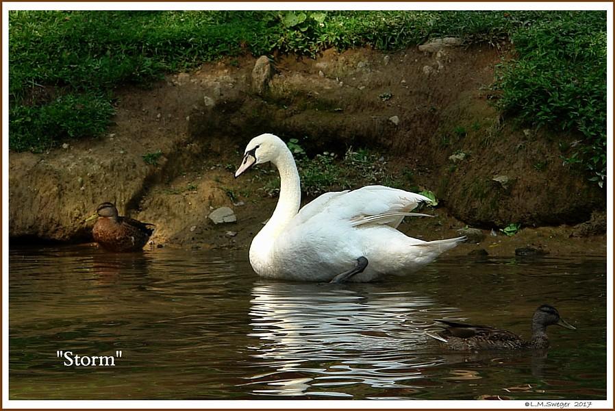 Male Mute Swan Storm