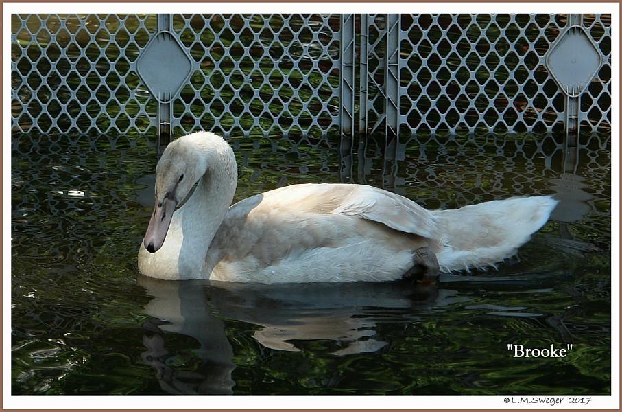 Mute Swan Cygnet Brooke