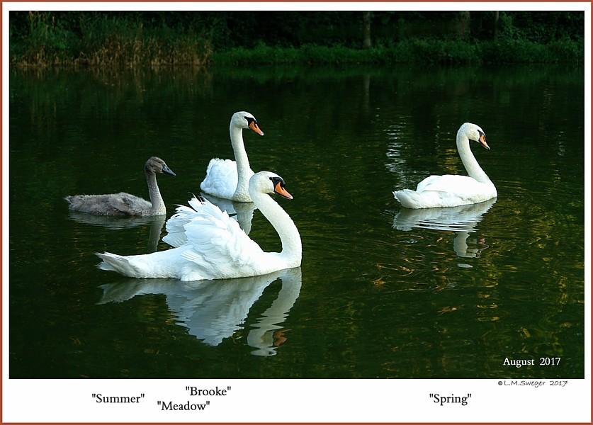 Mute Swan Family  Meadow   Brooke  Spring  Summer