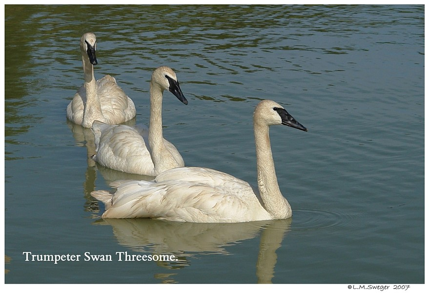 Trumpeter Swans Trio