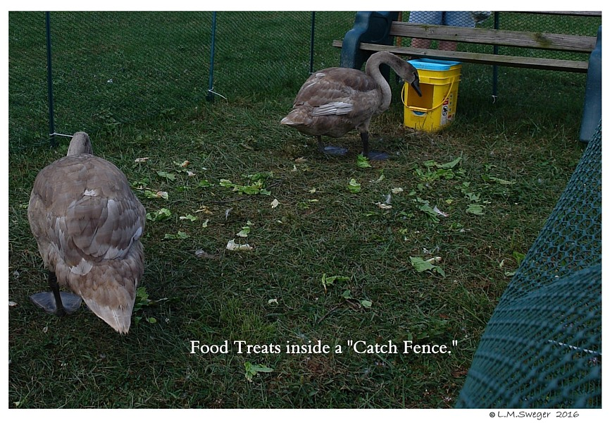 Catching Swan Under Chin-Tongue Bulge Impaction