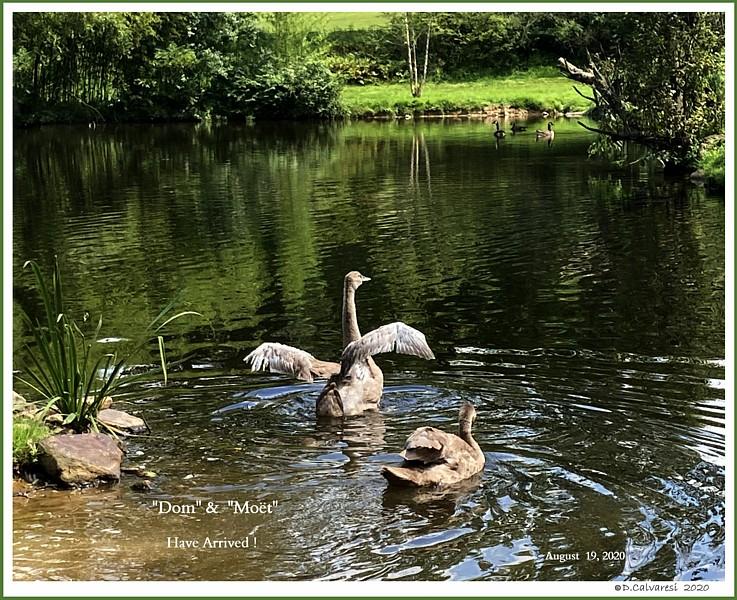 Male Mute Swan Cygnets  Dom  Moet