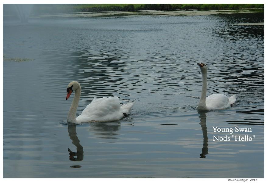 Swan Cygnet Nods Hello