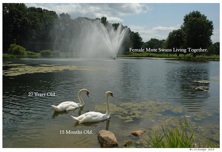 Same Sex Mute Swans Swans DNA-Sex Testing