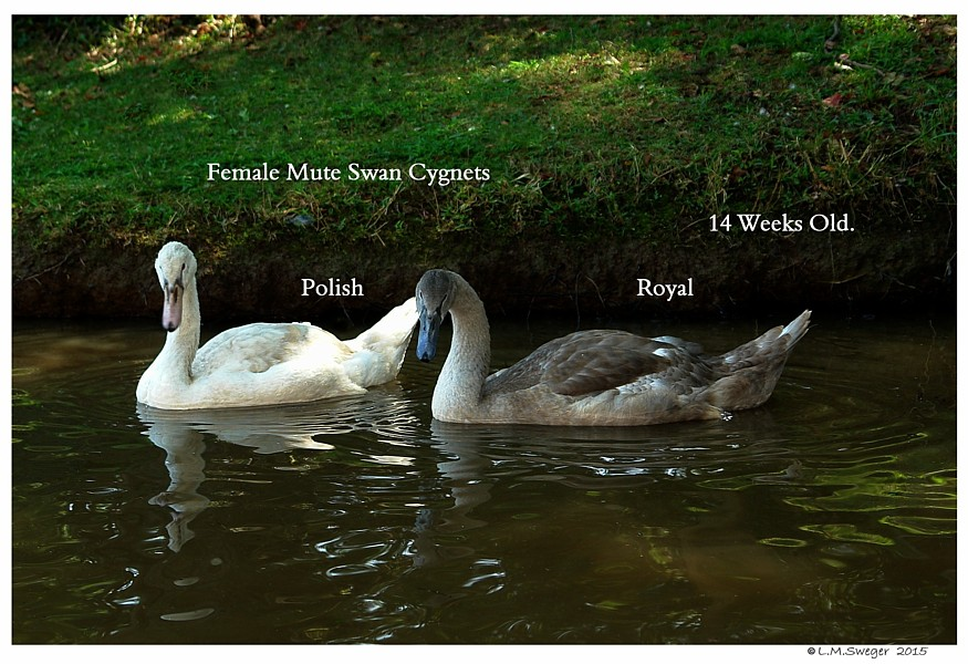 Swan Cygnets DNA Results