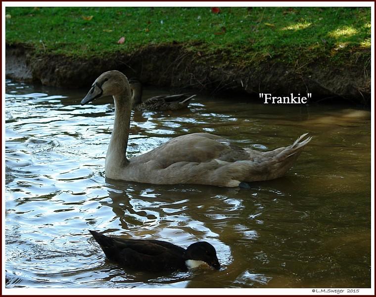 Mute Swan Cygnet Frankie