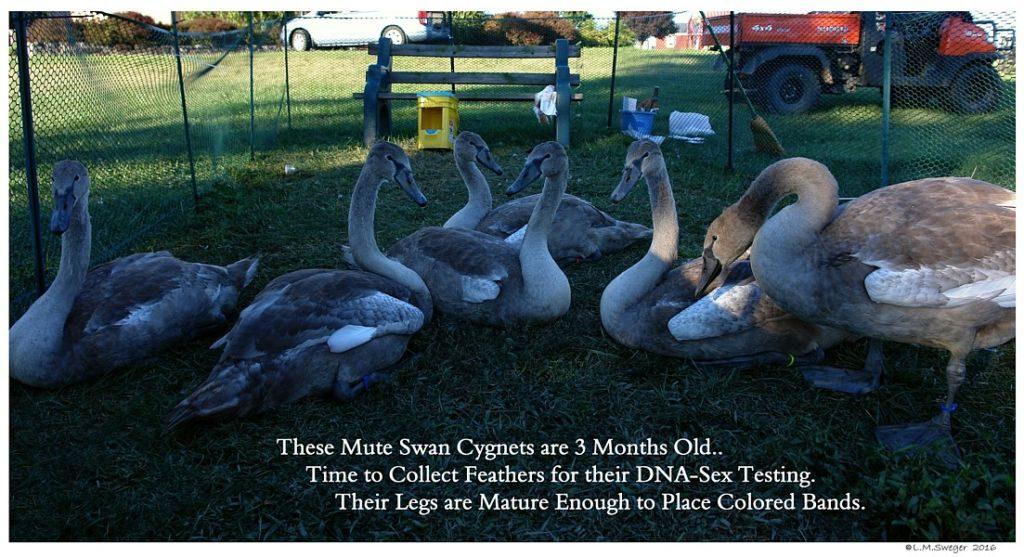 DNA Mute Swan Cgnets