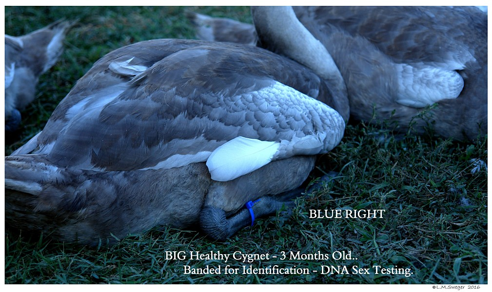 DNA Mute Swan Cygnets Swans DNA-Sex Testing