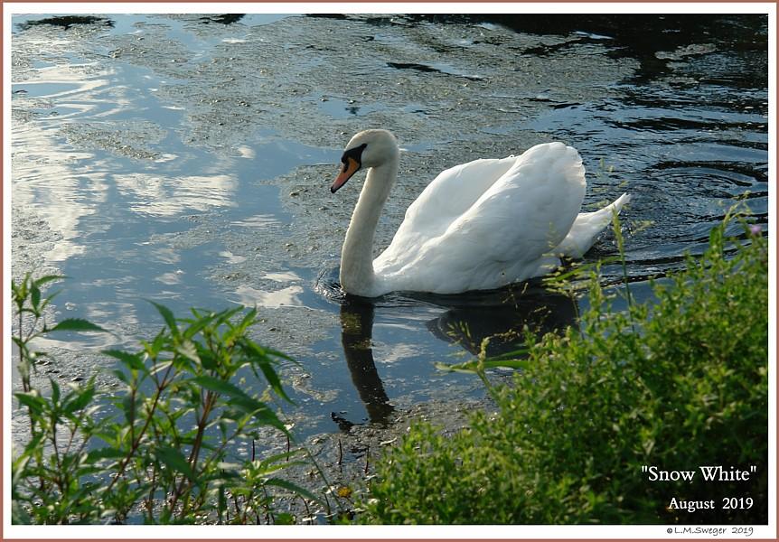 Mute Swan Pen Snow White