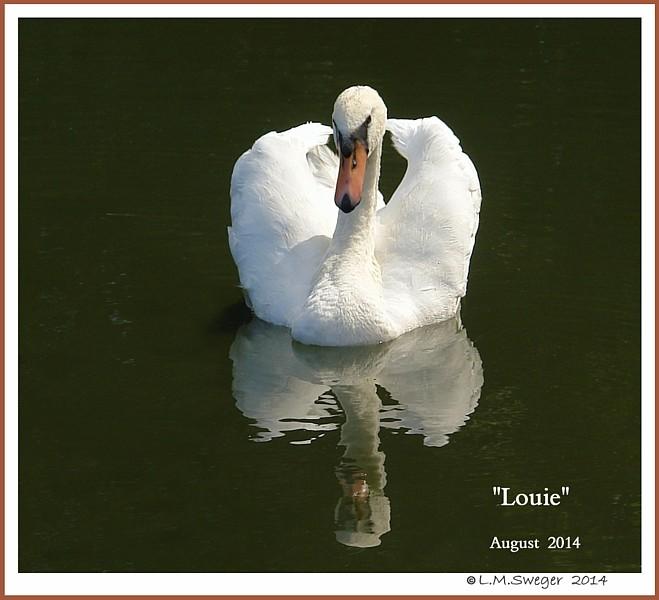 Male Mute Swan Louis