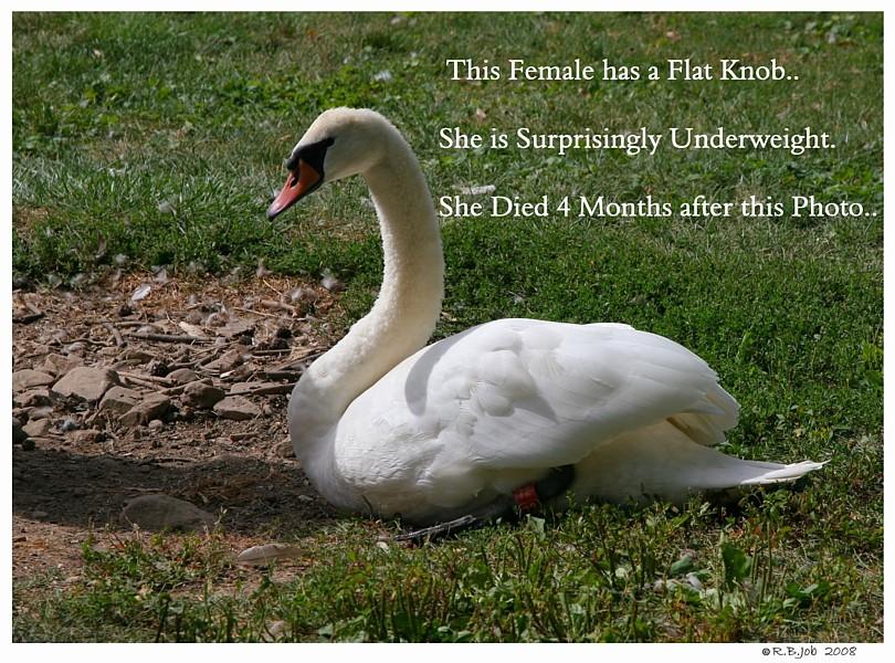 Underweight Mute Swan Captive Mute Swans Feeding Swans