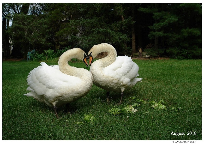 Male Mute Swan  Nest Mates Swans DNA-Sex Testing