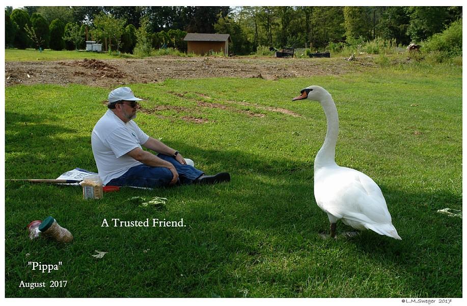 Mute Swan Trust