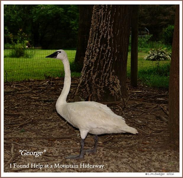 Tundra Swan George