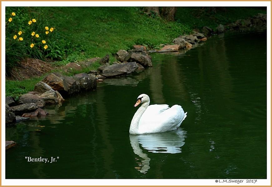 Male Mute Swan Bentley