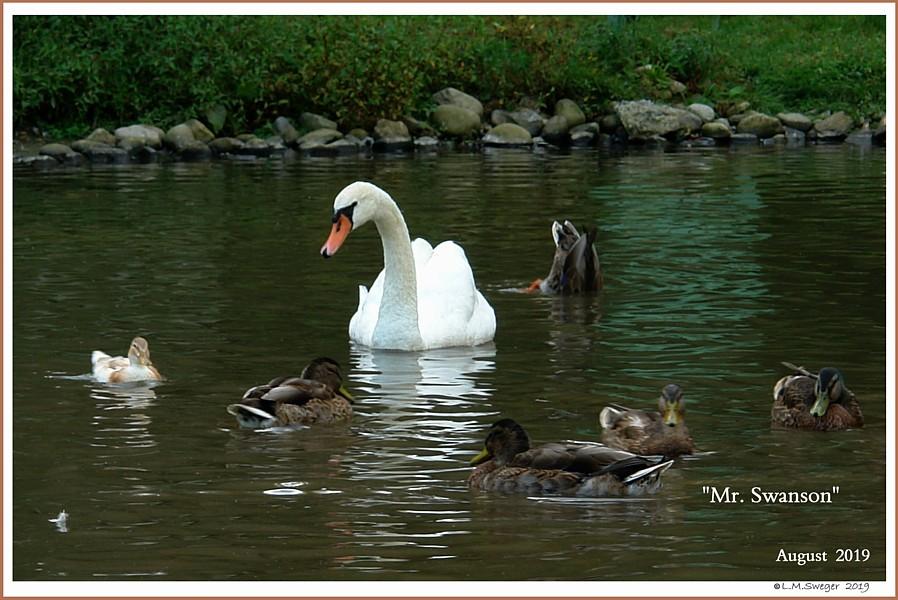 Rescued Male Mute Swan Cob  Mr. Swanson