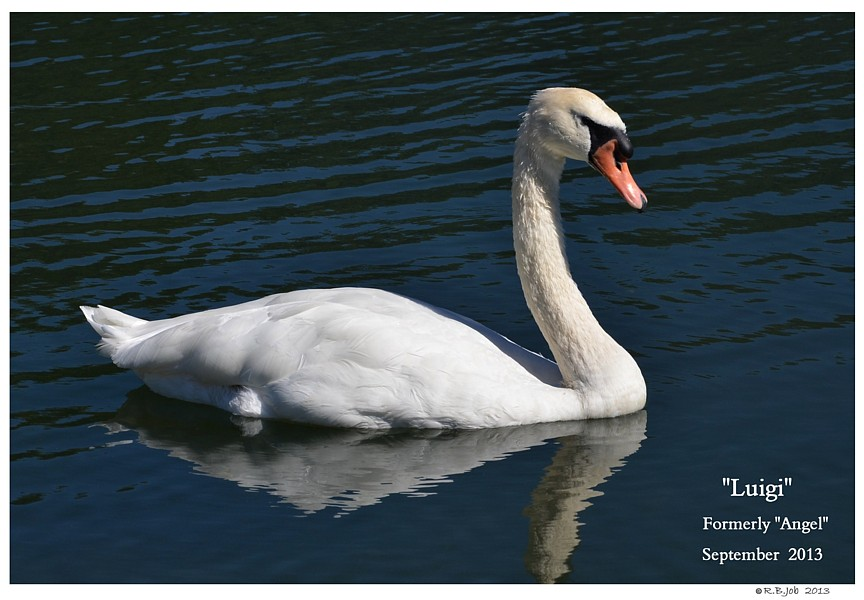 Male Mute Swan Swans DNA-Sex Testing