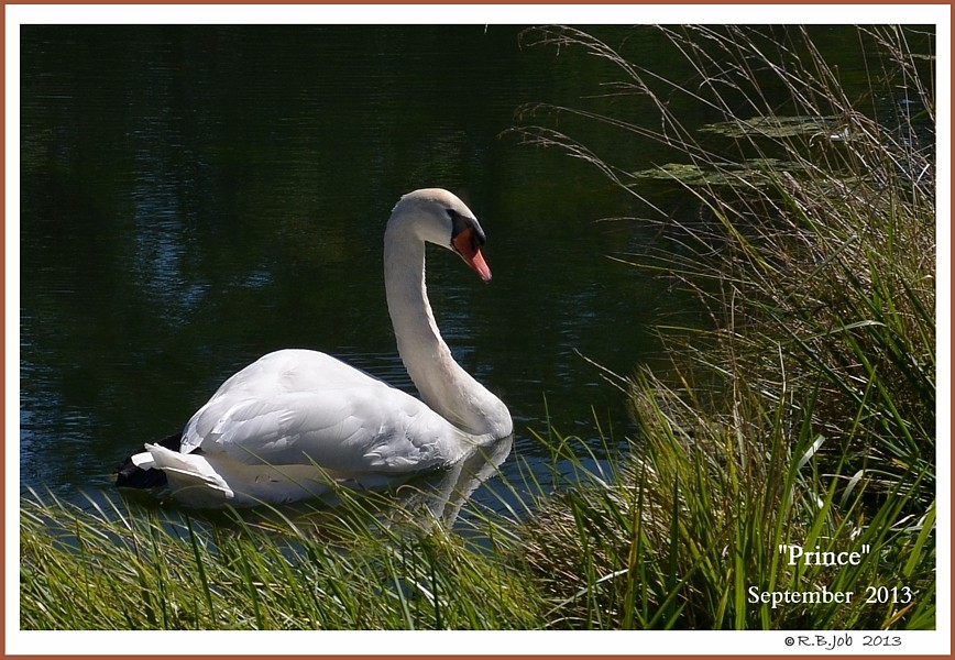 Male Mute Swan Prince
